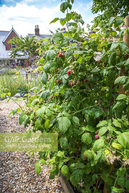 Planting Raspberries - Garden.org