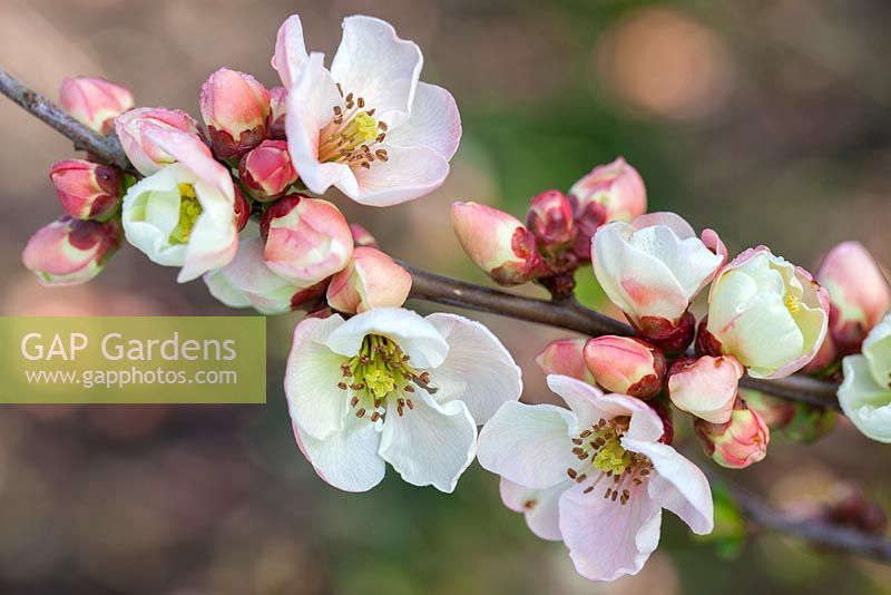 Chaenomeles speciosa 'Moerloosei', Japanese Quince, Japonica, Ornamental Quince. Shrub, March. Pale pink blossom.