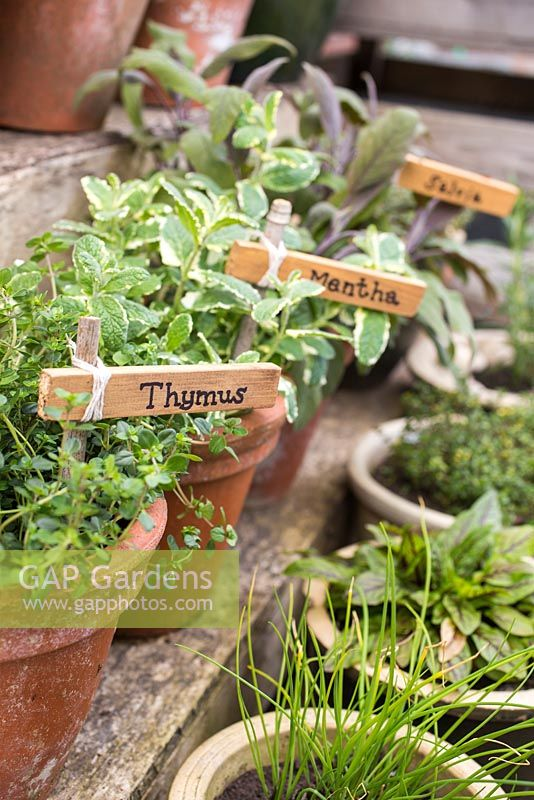 Labels used for Thymus, Mentha and Salvia.