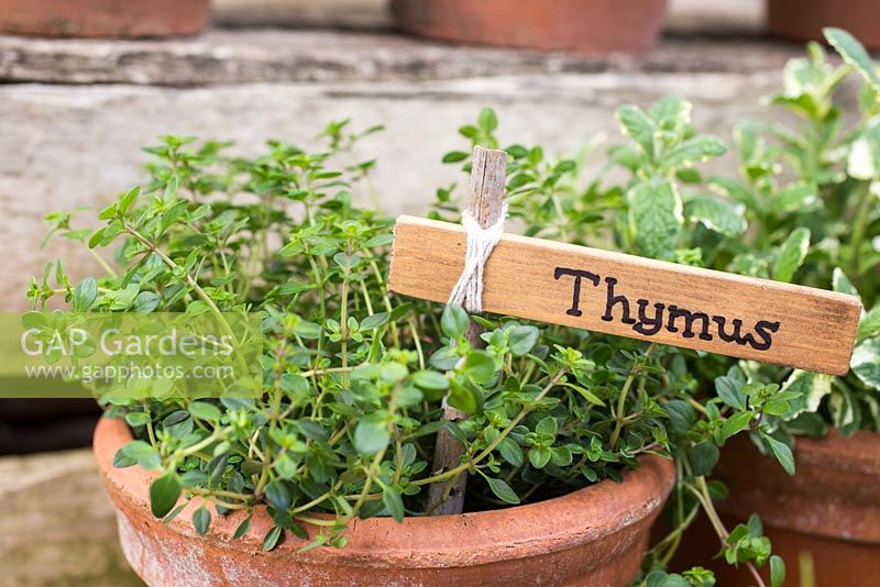 Label used for Thymus.