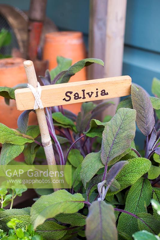 Label used for Salvia.