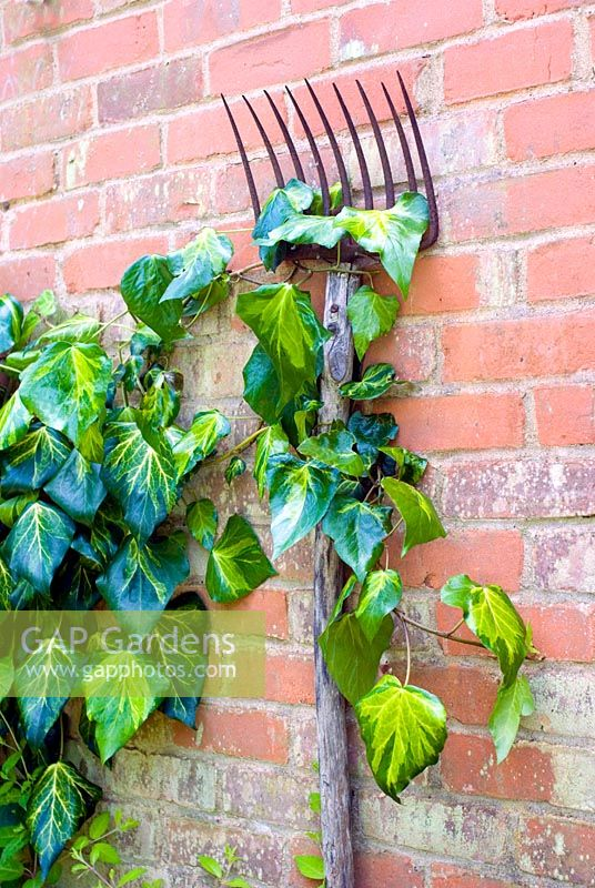 Antique garden fork used to support Ivy on wall