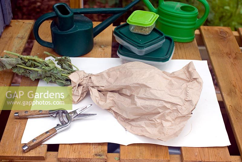 Collecting seeds of papaver somniferum opium poppy in paper bag