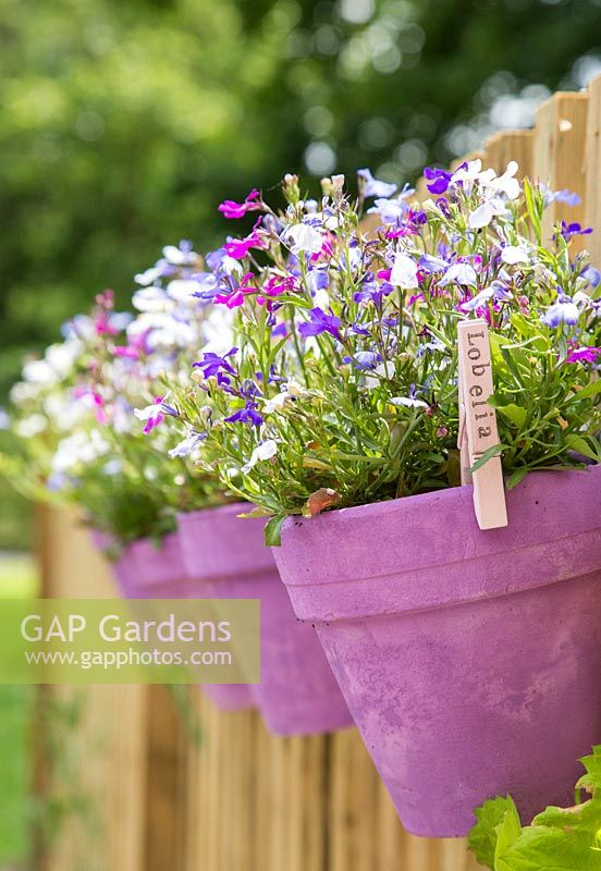 Lobelia potted plants with stamped labels