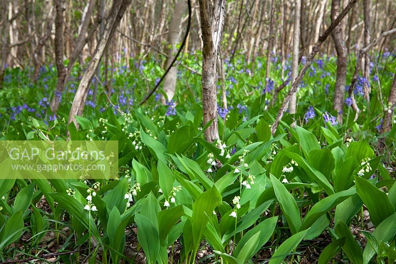 Lily-of-the-valley growing wild with bluebells in a woodland in Gloucestershire. Convallaria majalis