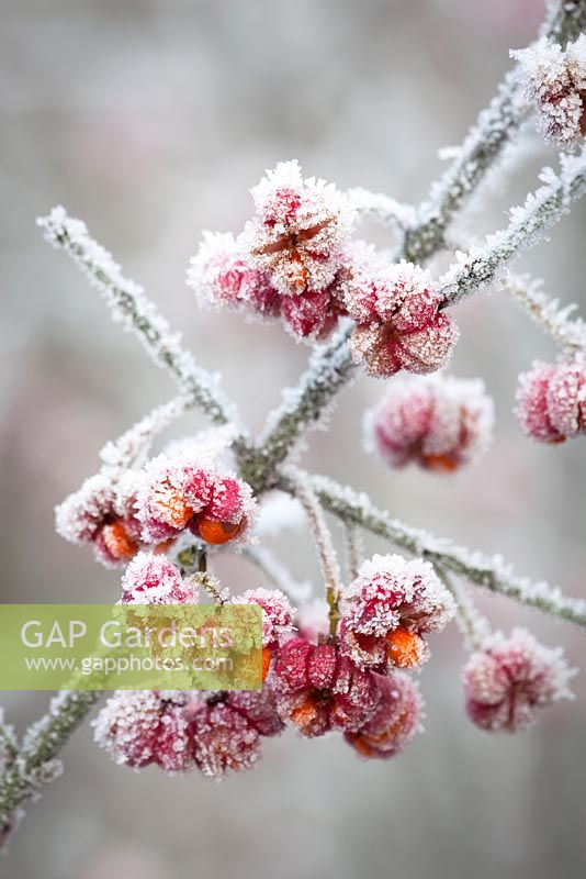 Hoar frost on Spindle berries - Euonymus europaeus