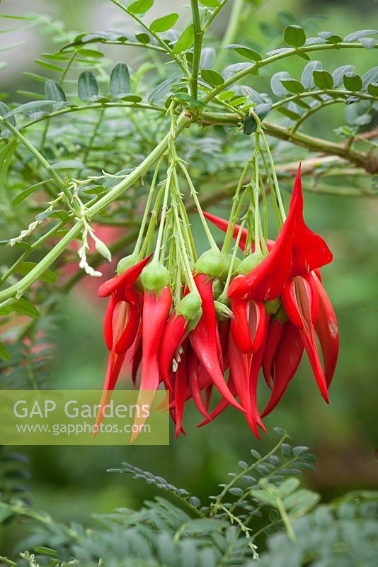Clianthus puniceus 'Red Cardinal' syn. Clianthus puniceus AGM. Lobster claw