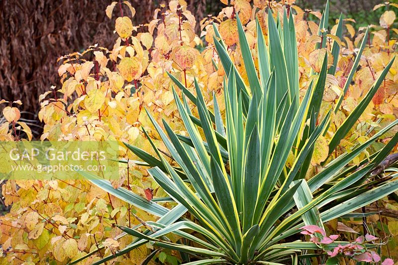 Yucca gloriosa 'Variegata' growing with Cornus sanguineus 'Midwinter Fire'