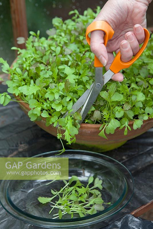Cutting greenhouse grown salad leaves, salad mixture grown in shallow terracotta pot