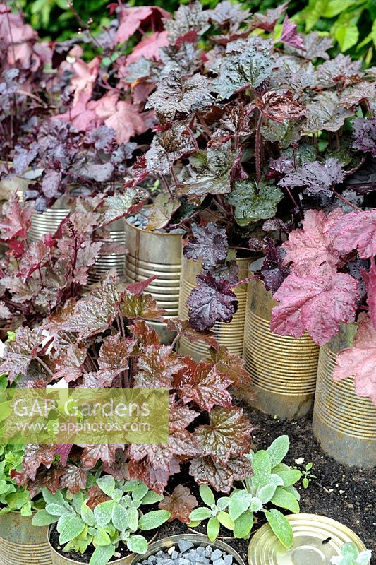 Heuchera growing in tin cans - Title: Le jardin mis en boite (International Garden Festival, Chaumont-sur-Loire, France, 2014)