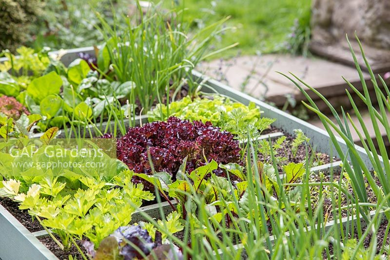 Square foot gardening in a large raised vegetable trug. Plants include Lettuce, Celery, Beetroot, Carrots and Onions