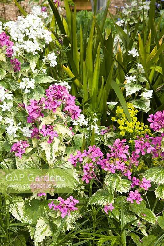 Purple And White Variegated Honesty Lunaria Annua Variegata With Iris Foetidissima Hope
