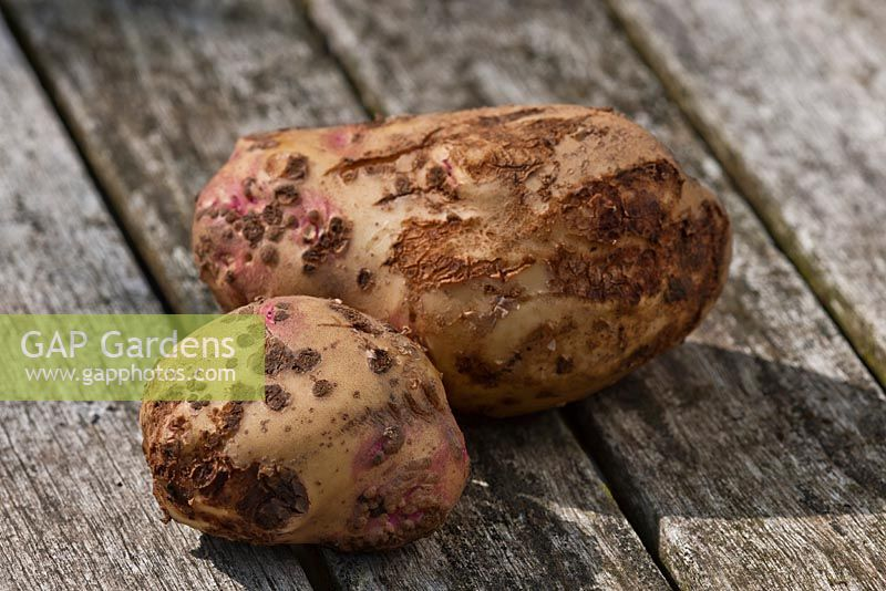 Common scab on potato tuber - Streptomyces scabies