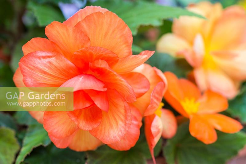 Begonia tuberhybrida 'Apricot Shades' F1 Illumination series.