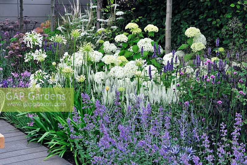 Vestra Wealth's Vista. Hydrangea arborescens 'Annabelle' and nepeta in border.