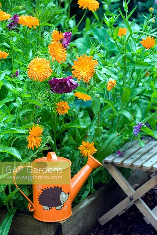Vegetable bed with childs watering can and seat, Calendula 'Porcupine' and Cosmos 'Double Click Cranberries'