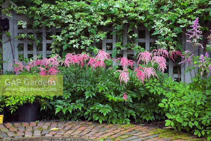 Grey Wooden Fence With Trellis Frames And Garden Border Pink Astilbe Ostrich Plume