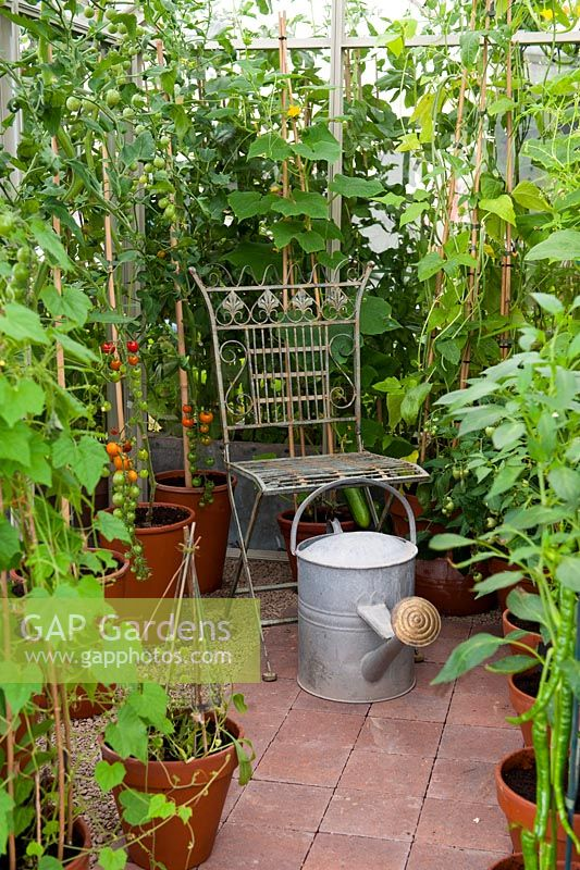 Greenhouse interior with vintage watering can and wrought iron seat amongst tomato, pepper and cucumber plants in pots