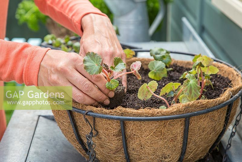 Planting plugs of Begonia tuberhybrida 'Apricot Shades' F1 Illumination series in the hanging basket