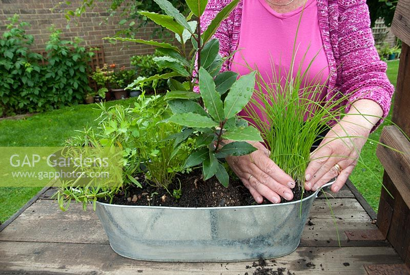 Woman planting up a herb container with chives, bay, parsley and rosemary - adding chives and firming in