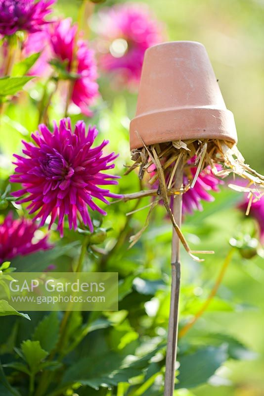 Earwig trap - Upturned terracotta pot filled with straw on top of cane to protect dahlias from damage