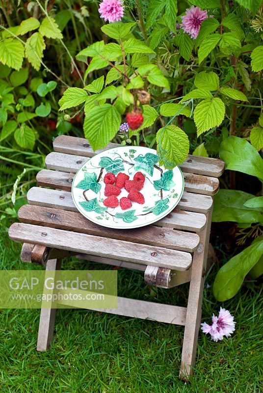 Picked raspberries on plate in garden