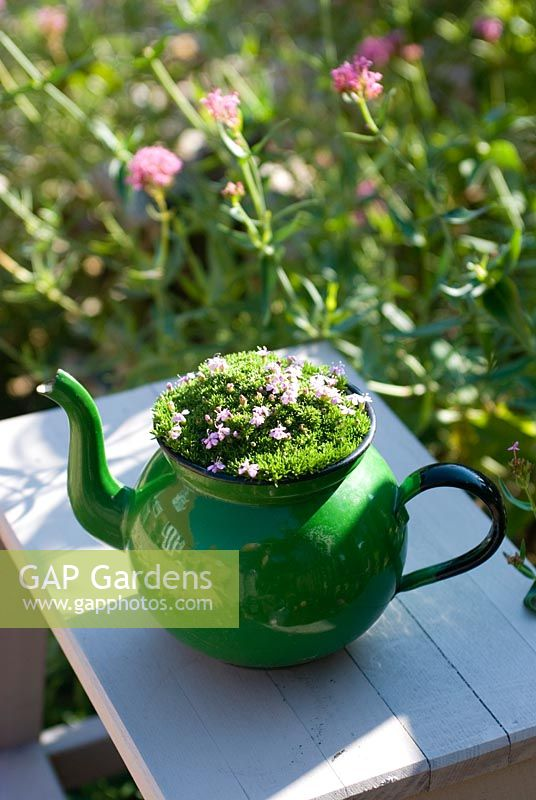 Vintage enamel teapot as a container with alpine Silene acaulis 'Mount Snowdon'