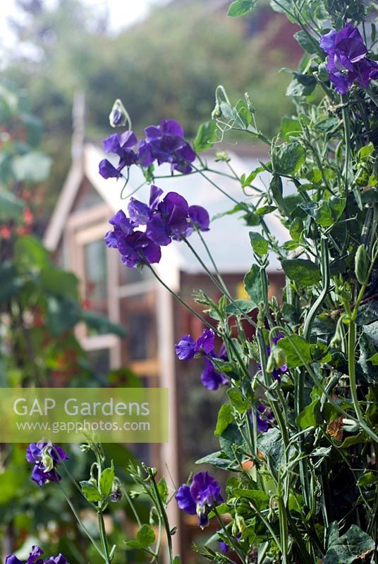 lathyrus - Sweet Pea 'King Size Navy Blue' with greenhouse in background