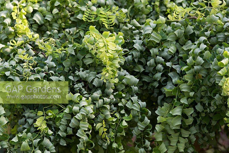 Robinia Pseudoacacia Lace Lady Twisted Dwarf Acacia Tree Black Locust