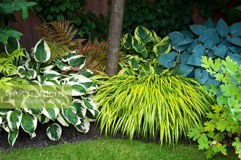 Shade planting including Hostas 'Wide Brim' and Halcyon, grass Hakonechloa macra 'Aureola', and fern Dryopteris erythrosora