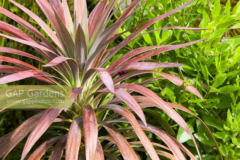 Yucca plant - young Purple leaved. Lincolnshire. August 2014. Summer.