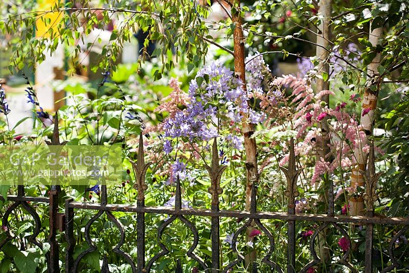 Perennial border next to wrought iron garden fence under birches. Knautia macedonica 'red knight', Campanula pritchards, Betula Youngii, Scabiosa columbaria, Salvia guaranitica 'Black and Blue'.