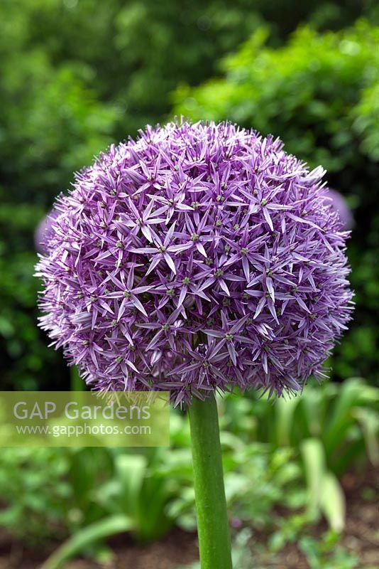 Gap Gardens Allium Christophii Globemaster Long Flowering