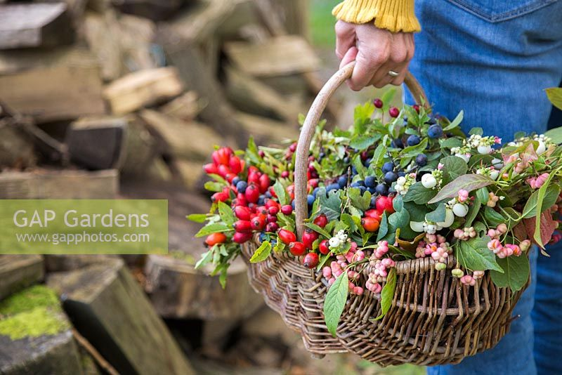 Woman holding basket containing Snowberry, Spindle, Dogwood, Rose hip, Hawthorn and Sloe.