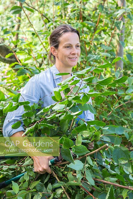 Pruning Philadelphus coronarius. Woman carrying pruned cuttings for composting