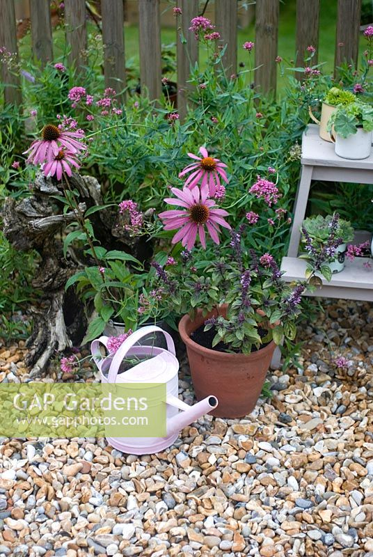 Pink and purple flowering plants including  Echinacea purpurea in pots on patio