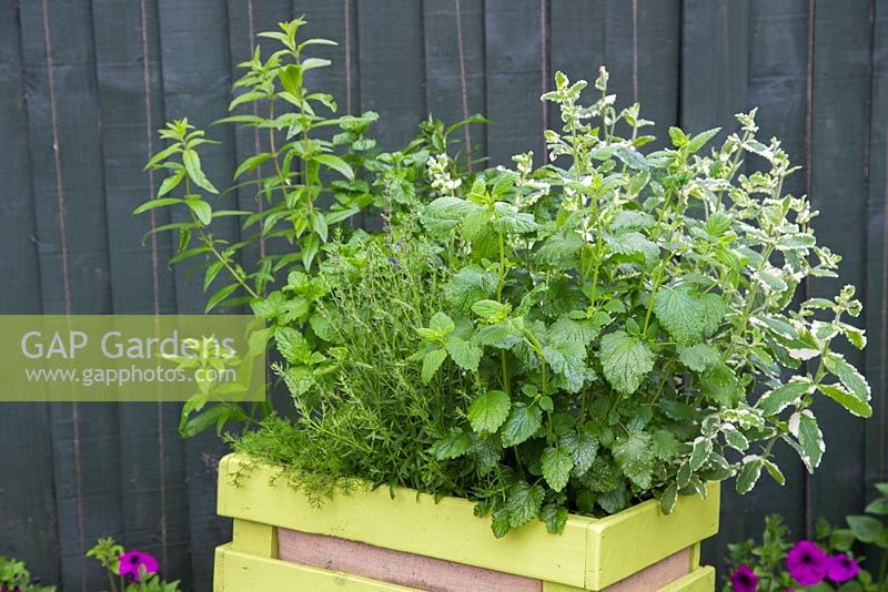 Box planted with herbal plants for making tea. Plants include Lemon Verbena, Lemon balm, Hyssopus officinalis, Chamomile 'Double', Mentha spicata 'Tashkent', Mentha piperita f. citrata, Basil and Anethum graveolens.