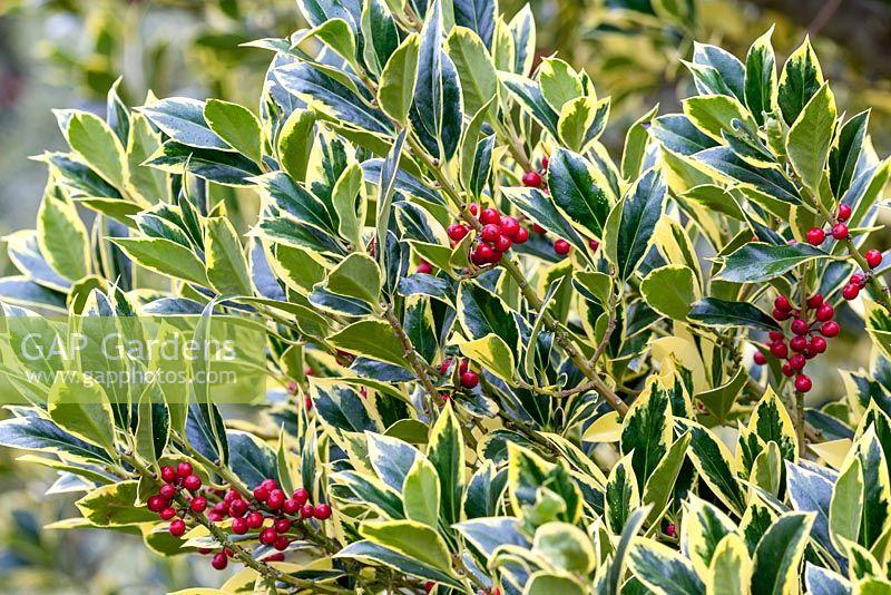 Gap Gardens Ilex Aquifolium Pyramidalis Aureomarginata