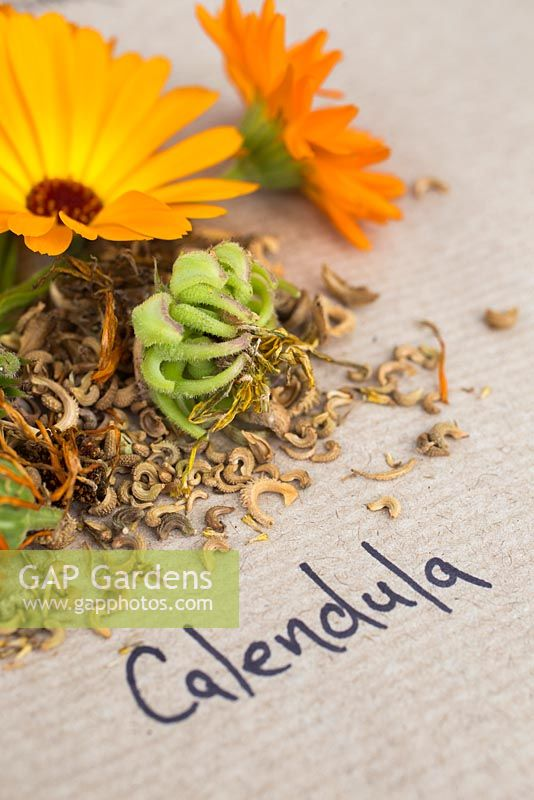 Flower, seed heads and seeds of Calendula