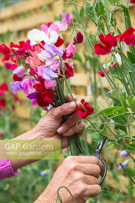 Gathering a bouquet of Sweet peas