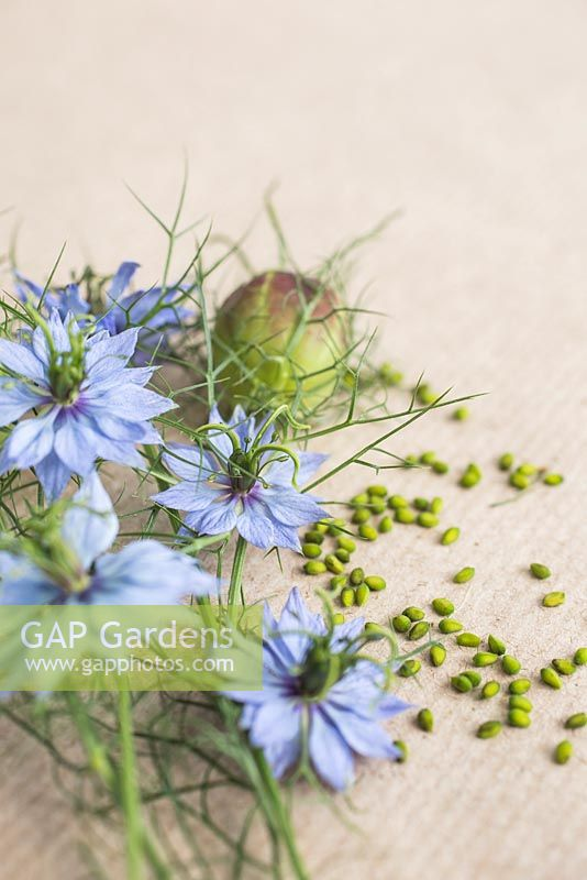 Flowers, seed heads and seeds of Nigella damascena - Love in a mist