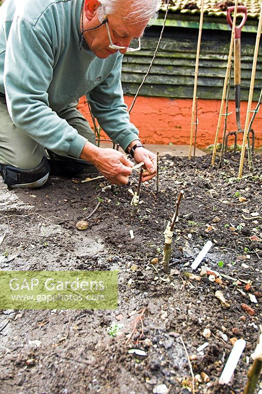 Plantsman grafting Apples Banns, Nelson, American Mother, Pitmaston Pineapple, on to M26 dwarf rootstock, North Norfolk, Uk, April