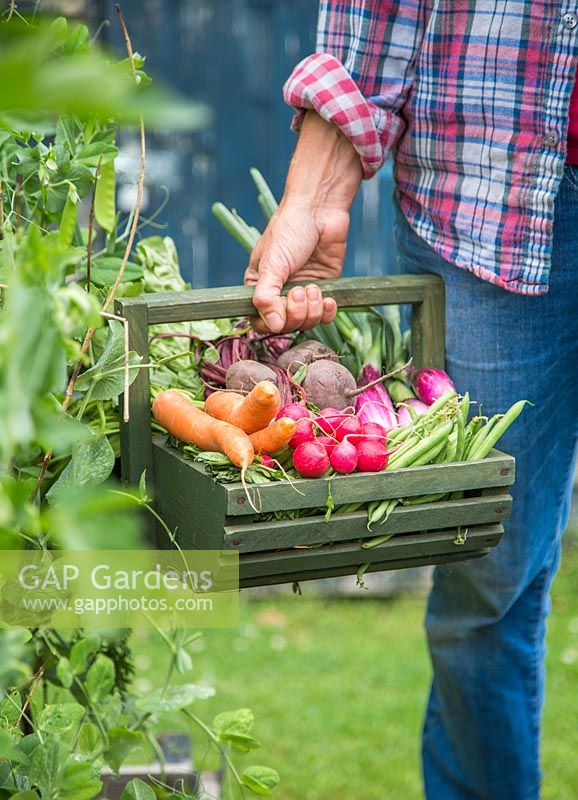Woman carrying trug of harvested carrots, radishes, beetroot, runner beans and spring onions