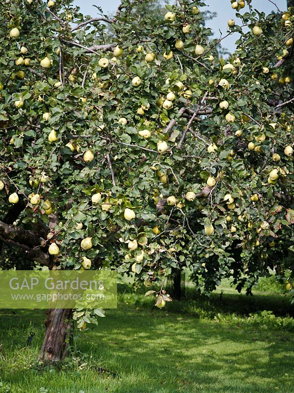 Cydonia oblonga - Quince trees with fruits - September