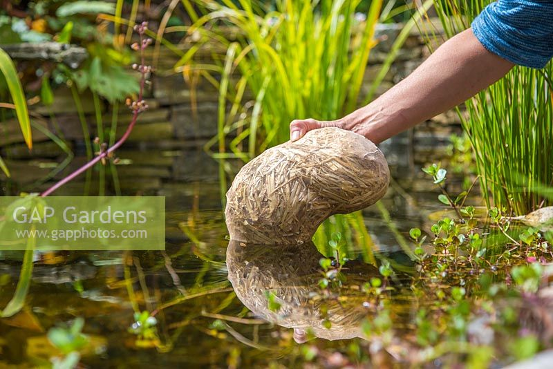 Barley Straw pond cleaner. Placing sack of Barley Straw in the centre and deepest part of the pond
