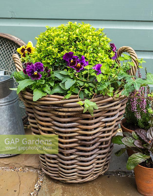 Gap Gardens Plants Include Ilex Crenata Golden Gem And Pansy