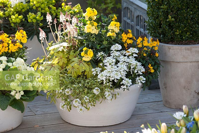 Containers planted with Iberis 'Snowball', Erysimum 'Winter Light', Rysi 'Saffron', Tiarella 'Pink Torch', Lobularia 'Primavera Princess', Heucherella 'Alabama Sunrise' and  Primula Belarina 'Cream'