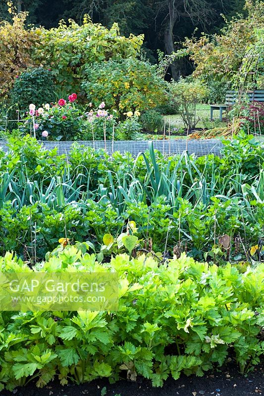 Autumn vegetable bed with celery, parsnips and leeks