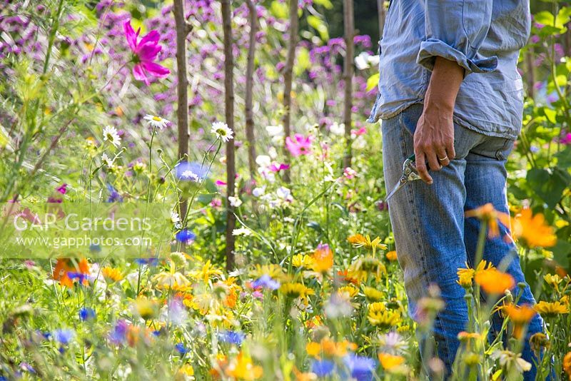 Woman entering a flower garden with pruning secateurs at her side. Calendula and Cosmos in foreground, field of Verbena bonariensis in the background