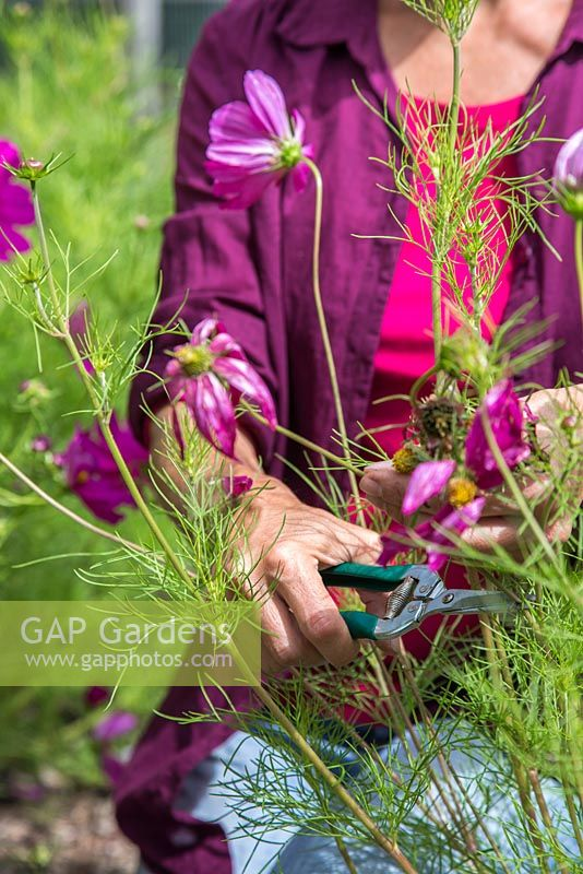 Woman deadheading Cosmos flowers in a flower garden